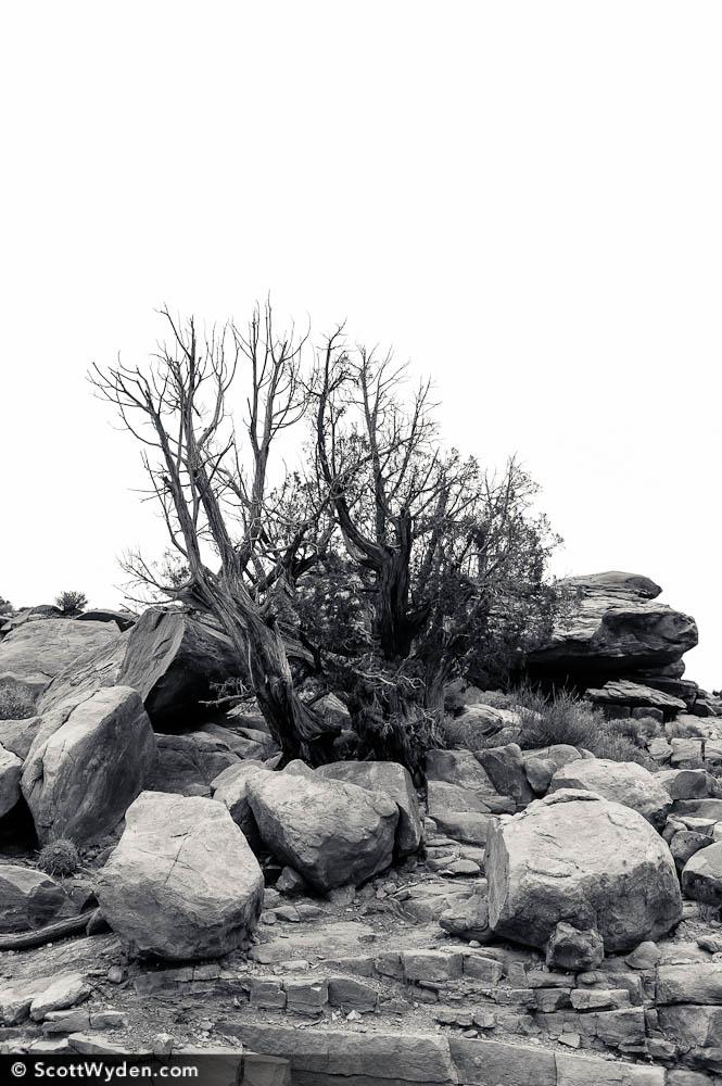 Auhsoj-Tree